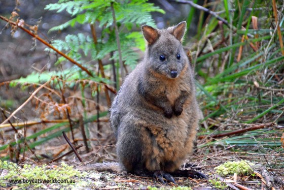 gorgeous pademelon at Corinna, Tasmania