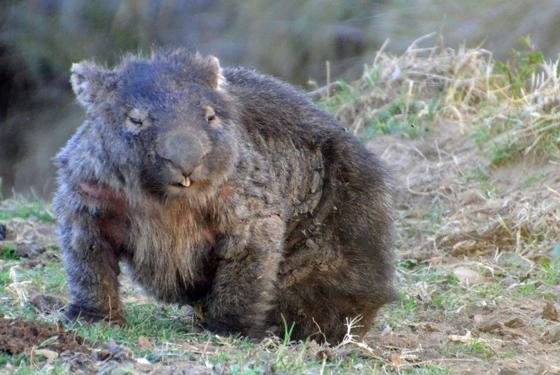 Old man wombat at Old Bara, Mudgee