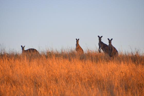 Kangaroos at dusk at Old Bara Homestead Mudgee