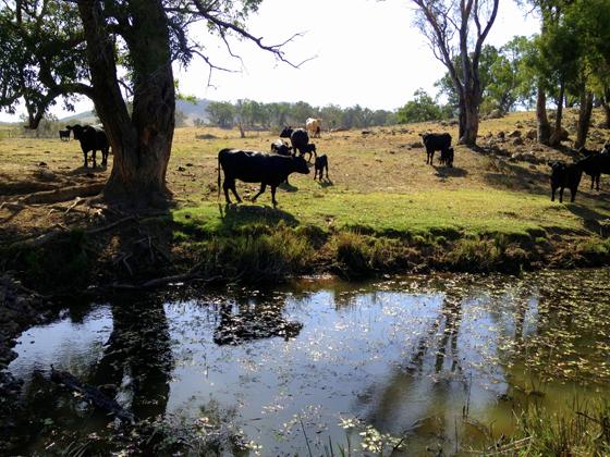 Beautiful Old Bara cows