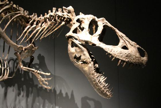Tyrannosaurs at The Australian Museum