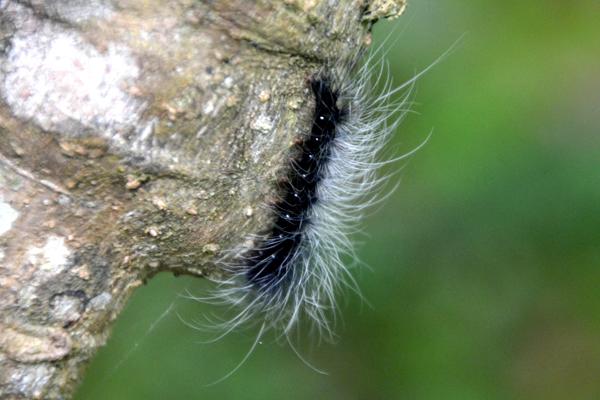 caterpillar in Taroko Gorge, Taiwan