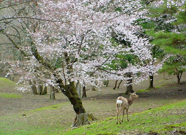 Nara Park and deer image by Not a Ballerina