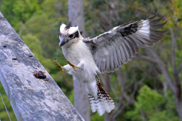Kookaburra landing at Banjo's Bush Retreat