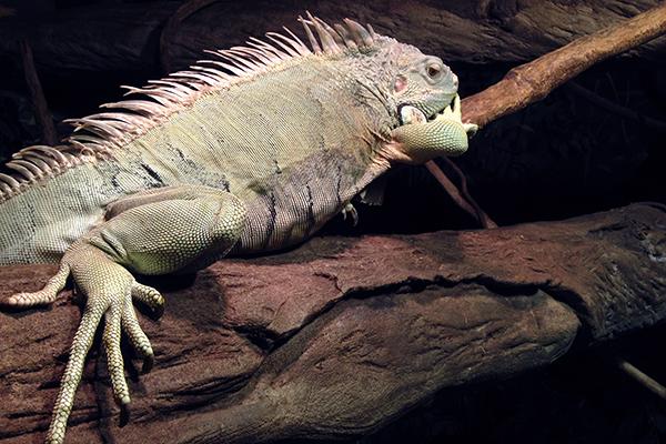 Iguana at Australian Reptile park