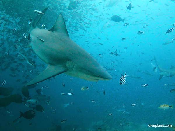 Bull shark. Aqua Trek Shark dive at Beqa Lagoon FIji. Pic by Diveplanit