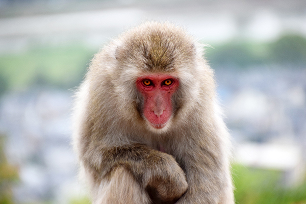 Japanese Macaque at Arashiyama's Iwatayama Monkey Park