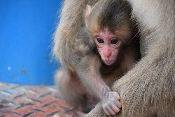Arashiyama's Iwatayama Monkey