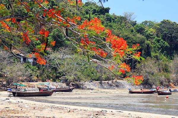 Flame hued flowers in Phuket
