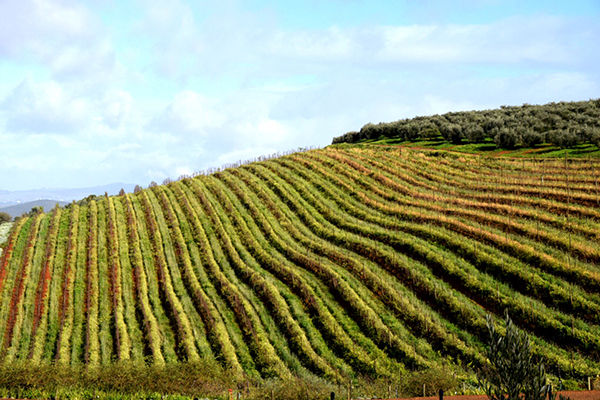 Hundreds of Vineyards line the Stellenbosch Wine Route