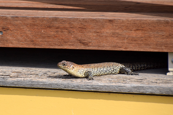 Hartley Historic Village with kids: Lizards sunning them self on the accesible balcony of Old Trahlee, Li