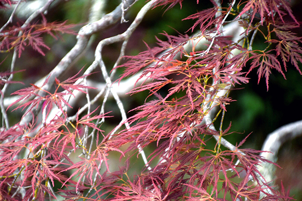 Colourful leaves abound in Everglades Gardens Leura