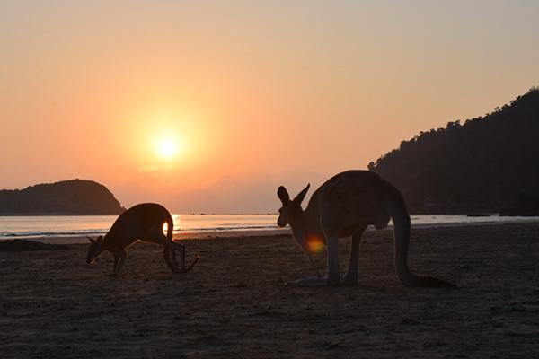 Cape Hillsborough Kangaroos at sunrise with Kids