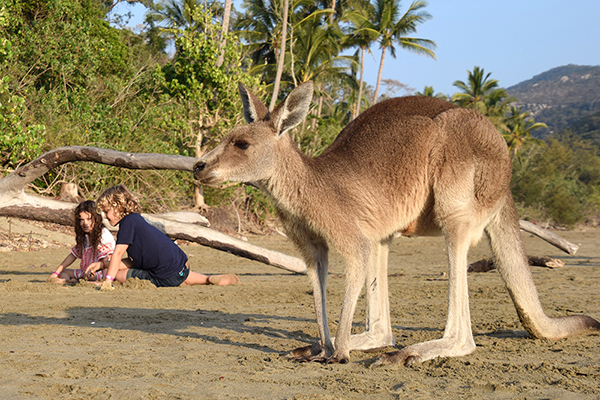 Kangaroo on the beach with kids at Cape Hillsborough