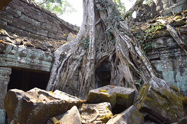 The vine gripped ruins of Ta Prohm Siem Reap