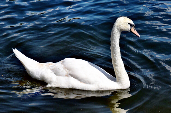 Swan on The Thames in Marlow