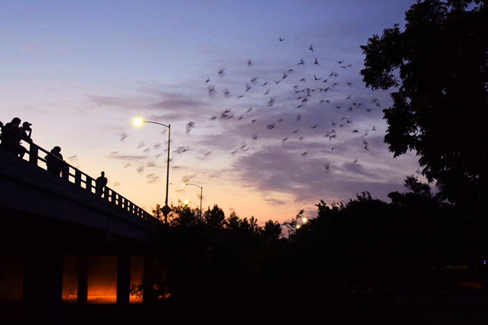 250,000 bats call Waugh Bridge home