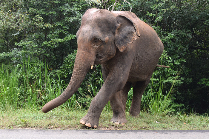 Elephant on the roadside between Polonnaruwa and Minneriya national park Sri Lanka