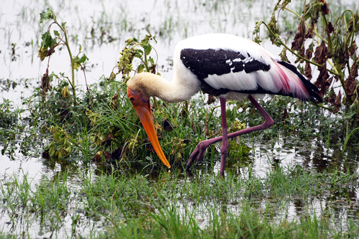 Painted stork in Minneriya national park, Sri Lanka