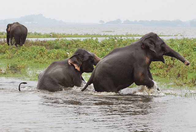 Wild, free and happy elephants in Minnereya National Park, Sri Lanka _ photo copyright BoyEatsWorld