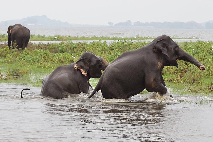 Wild, free and happy elephants in Minnereya National Park, Sri Lanka _ photo copyright BoyEatsWorld