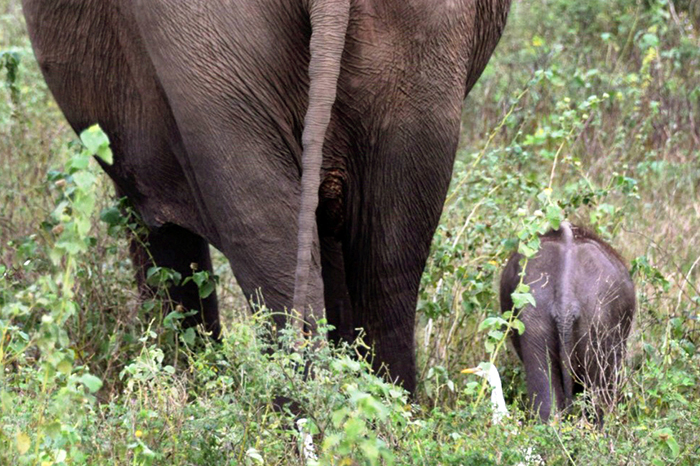 mother and baby elephant in Minneriya national park i