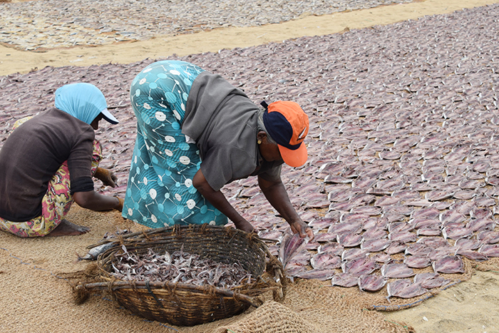 Laying out fish to dry at Negombo