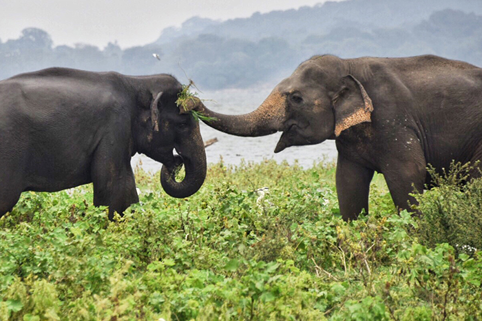 Wild elephants at play in Minneriya national park, Sri Lanka