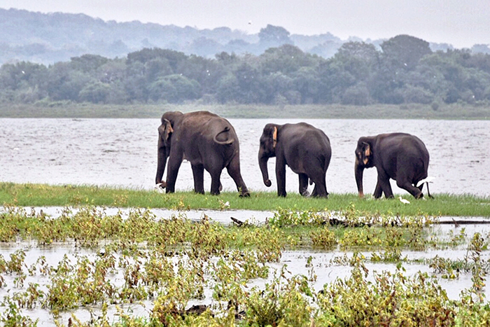 Three elephants strolling in Minneriya national park