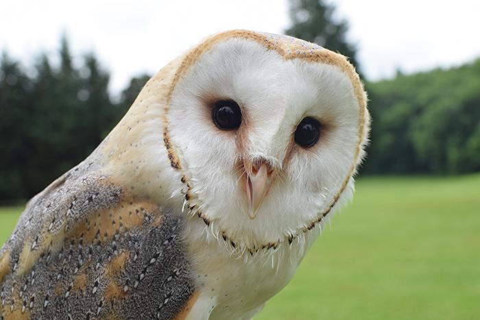 Bob the Barn Owl - Dalhousie Castle in Edinburgh