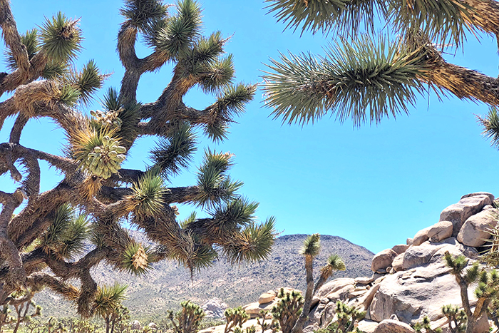 Gnarly twisted Joshua Tree's at Joshua Tree National Park