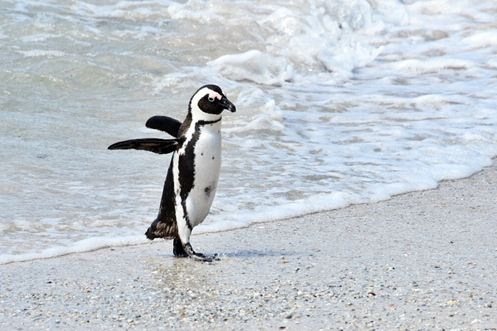 Where to see penguins in South Africa with kids: Penguin leaving teh water at Boulders Beach