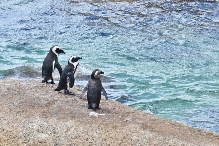 Penguins ready for a dip at Boulders Beach