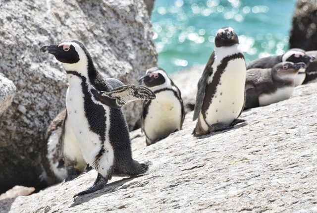 Endangered penguins at Boulders Beach, Cape Town