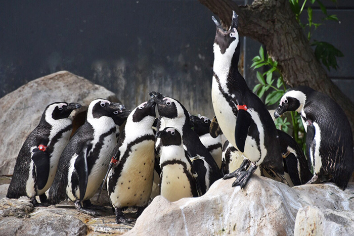 Where to see penguins in South Africa with kids: Penguins under care at SANCCOB Cape Town