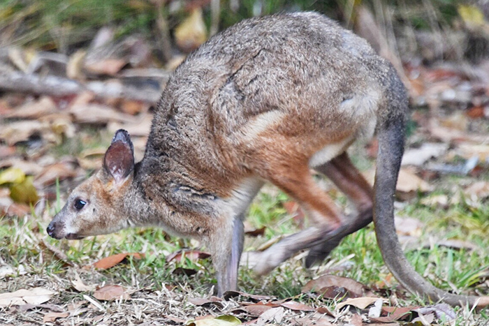pademelon at The Canopy Treehouses in Tarzali, Atherton Tablelands atherton tablelands accommodation