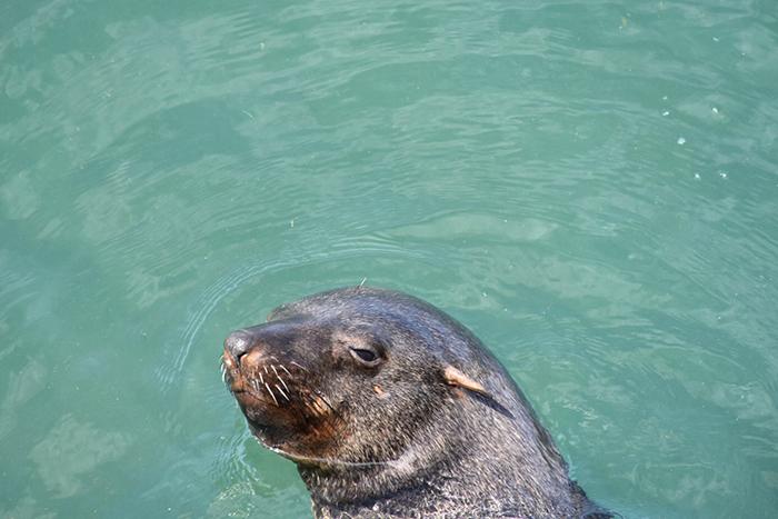 Seal at Kalk Bay Cape Town