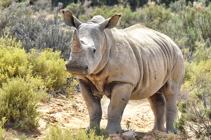 Rhino at Aquila Private Game Reserve