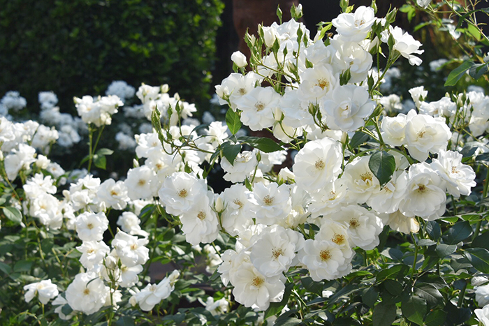 rose garden at AtholPlace