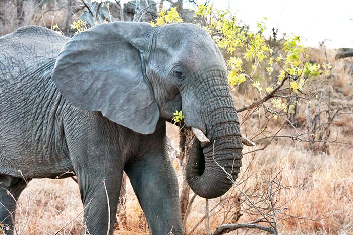 Elephant at Sabi Sabi. Image © Aleney de Winter