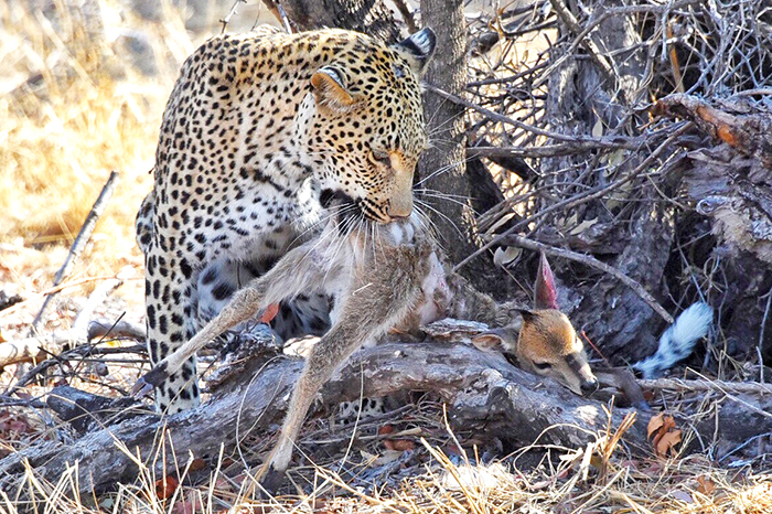 Leopard with its kill at Sabi Sabi Private Game reserve