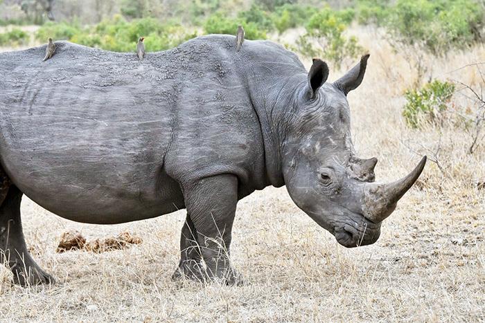 Rhino at Sabi SAbi
