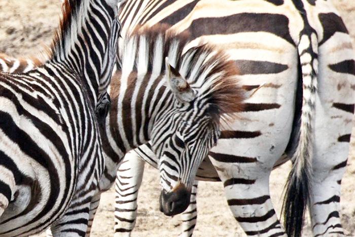 Zebra baby at Sabi Sabi