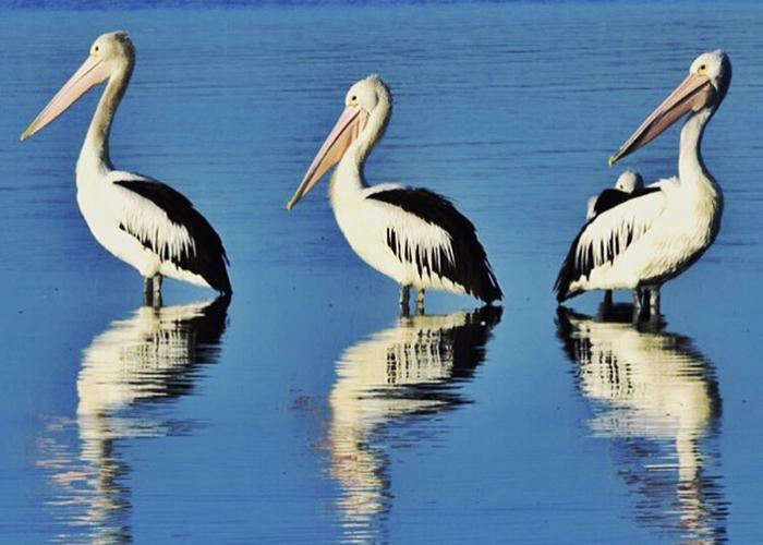 Pelicans at Lake Macquarie