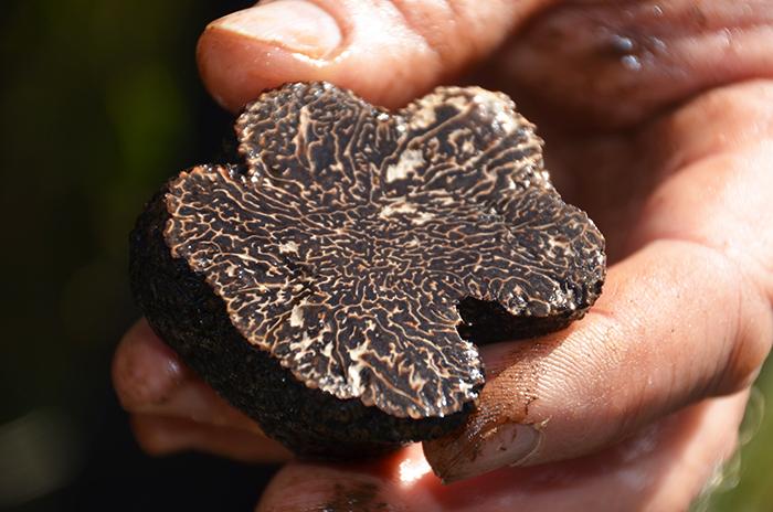 Fresh truffle at The Truffle Farm Canberra