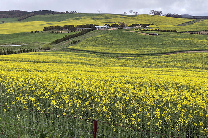 Canola fields at Oberon