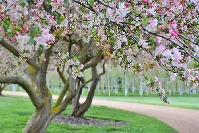 cherry blossoms in Oberon