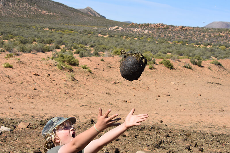 Dung soccer at Aquila Private Game reserve
