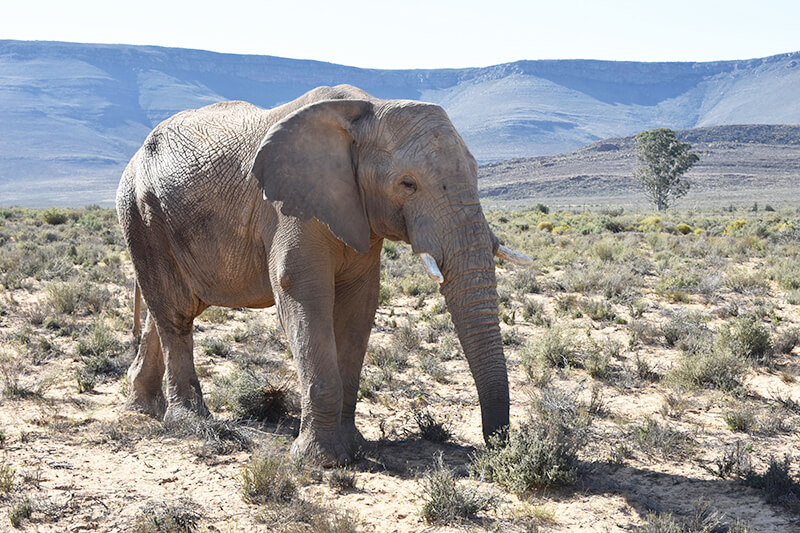 Elephant at Aquila Private Game Reserve