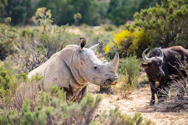RHino at Aquila © Sherilea Gaspar:South African Tourism